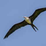Great Frigatebird (8)