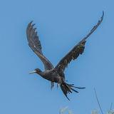 Great Frigatebird (9)