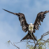 Great Frigatebird (10)