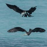 Great Frigatebird (11)