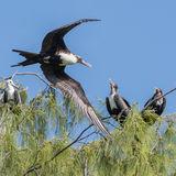 Great Frigatebird (12)