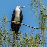 Great Frigatebird (15)