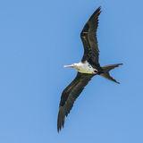 Great Frigatebird (16)