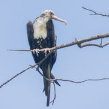 Great Frigatebird (18)