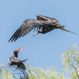 Great Frigatebird (21)