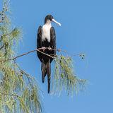 Great Frigatebird (23)
