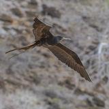 Magnificent Frigatebird (3)