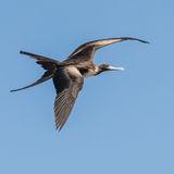 Magnificent Frigatebird (4)