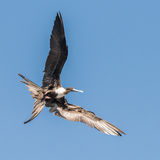 Magnificent Frigatebird (5)