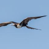 Magnificent Frigatebird (6)