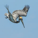 Brown Pelican (1)