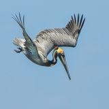 Brown Pelican (1)