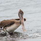Brown Pelican (4)