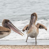 Brown Pelican (6)