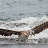 Brown Pelican (7)