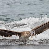 Brown Pelican (7)