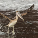 Brown Pelican (9)