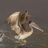 Brown Pelican (10)