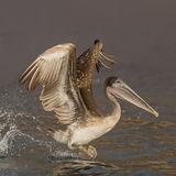 Brown Pelican (10)