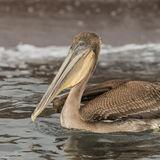 Brown Pelican (11)