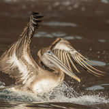 Brown Pelican (12)