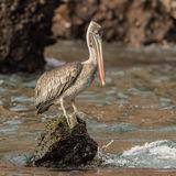 Brown Pelican (14)