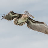 Brown Pelican (15)