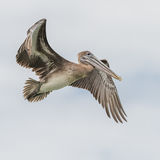 Brown Pelican (16)