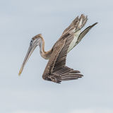 Brown Pelican (17)