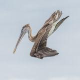 Brown Pelican (17)