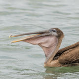 Brown Pelican (18)