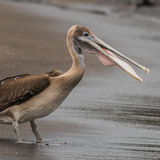 Brown Pelican (20)