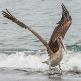 Brown Pelican (19)