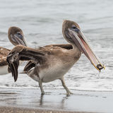 Brown Pelican (21)