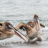 Brown Pelican (22)