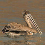 Brown Pelican (23)