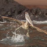 Brown Pelican (24)