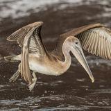 Brown Pelican (25)
