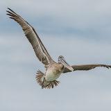 Brown Pelican (27)