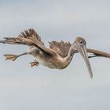 Brown Pelican (28)