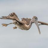 Brown Pelican (28)
