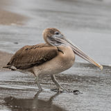 Brown Pelican (29)