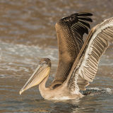 Brown Pelican (32)