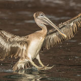Brown Pelican (33)