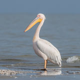 Great White Pelican (1)