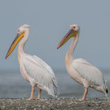 Great White Pelican (2)