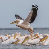 Great White Pelican (3)