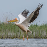 Great White Pelican (4)