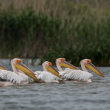 Great White Pelican (5)