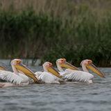 Great White Pelican (5)